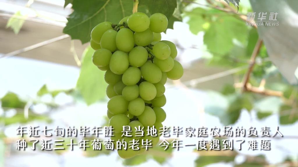 """江甦句容︰這(zhe)里的(de)葡萄""""甜""""到東南亞"""